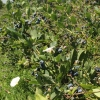 blueberries picking